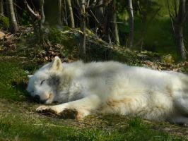 Restful Winter wolf by Mathayis