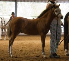 STOCK - 2014 Welsh QLD Show-76 by fillyrox