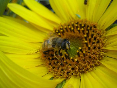 Bee on sunflower #1 by redrockstock