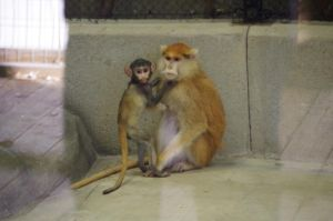 Patas monkey III by Silver-she-wolf-14