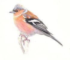 Chaffinch by reesmeister