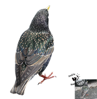 Cut-out stock PNG 98 - starling back by Momotte2stocks
