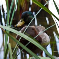 Duck by OnMostSurfaces