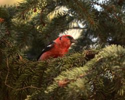 White-winged Crossbill by Canislupuscorax