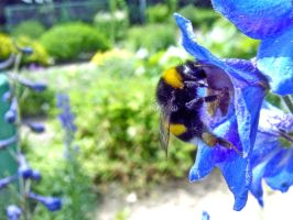 bumblebee on a blue flower by Paul774