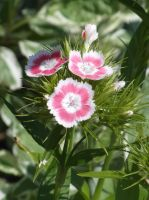 Pink eyelet poet flowers by one-film-one-drawing