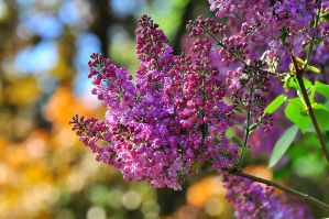 Flowering of lilac by Zaratra