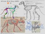 Patreon - African Wild Dog Anatomy 11 by T-Eight