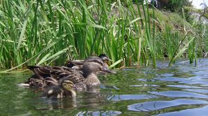 A Duck and her Ducklings by Victoria-M