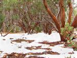 Manzanitas in Snow by chell265