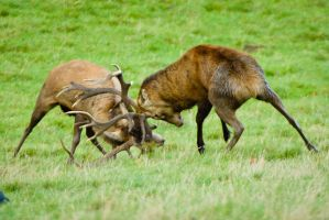 Red Deer Rutting by Pystoph