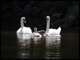 Norway-Swan family by AzureHowlShilach