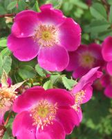Rosa spinosissima 'Mrs Colville' 1 by Kattvinge
