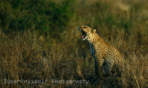 Leopard in the Sunset by OnyxHavok