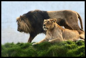 Lions by Alannah-Hawker
