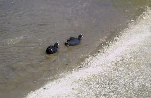 Coots by WendyW
