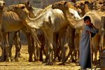 Camels are a Family Business by fourthwall