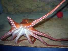 Giant Pacific Octopus 3 by ParanoidFreaksStock