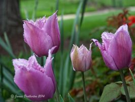 Fringed Tulips by jim88bro