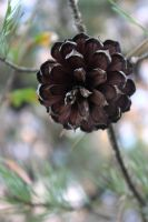 Pine Cone by mandypandy1980