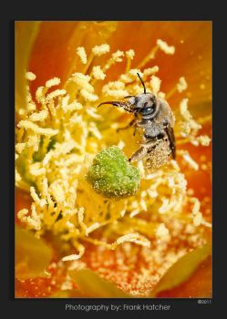Cactus with miner bee by Hatch1921