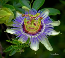 Passion Flower by embethe