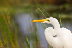 Great egret portrait by CyclicalCore