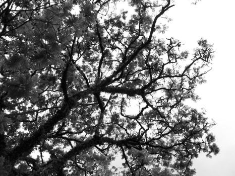 sycamore on a dry weather by nininunino