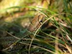 Sand Lizard hiding in the gras by TheFunnySpider