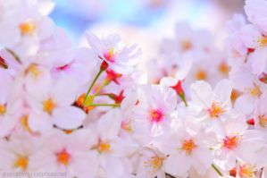 Wall of Blossom by simzcom