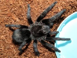 The Watering Hole (Grammostola pulchra) by Kamose