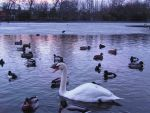 Swan lake saltwell park by Sony-Viao