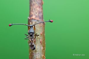 Stalk-eyed fly by melvynyeo