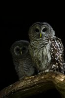 Two Owls by dark-angel-11309