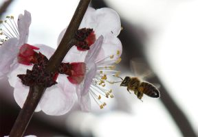 The bee and the apricot flower by canardu