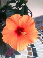 Hibiscus by Alcyone07