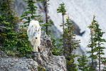 .:Mountain Goat:. by RHCheng
