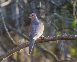 Good Mourning Dove by HerzeleidMeister