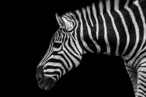 Zebra by DanielleMiner