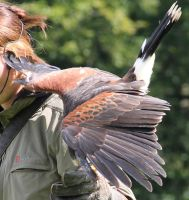 Harris Hawk 2 by Chocomix-Stock