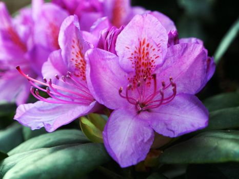 Rhododendrons by CarisaLaine