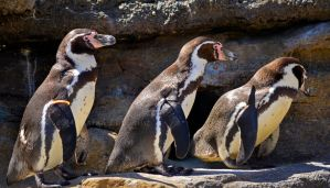 March of the Magellanic Penguins by Momenti-Photo
