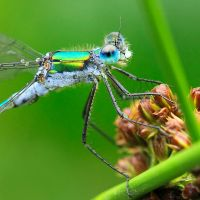 damselfly detail III by indojo