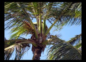 coconut palm by namioevangelista