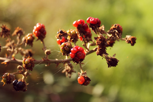 Autumnal Berries by TashaCraven