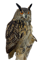 Eagle Owl PNG by LG-Design