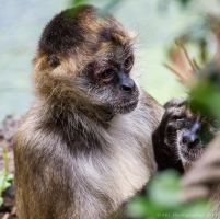 Spider Monkey by ARC-Photographic