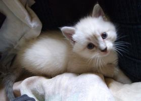 white kitten 4 by BreatheOnMe