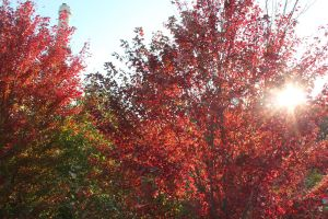 Burnt Red Leaves by Drake729