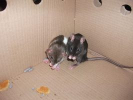 Two New Ratties by Miku-Nyan02